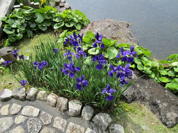 紅葉山庭園 花菖蒲