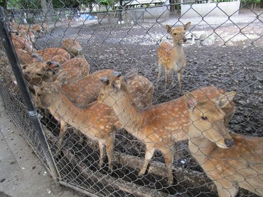 三島大社 鹿