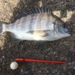 2018年GW 紀州釣り釣行記 静岡県用宗港 昨年よりも早くHGでチヌが釣れました。