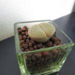 脱皮する植物 リトープス