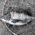 2018年3月10日 紀州釣り釣行記 焼津新港 久しぶりにチヌが釣れました